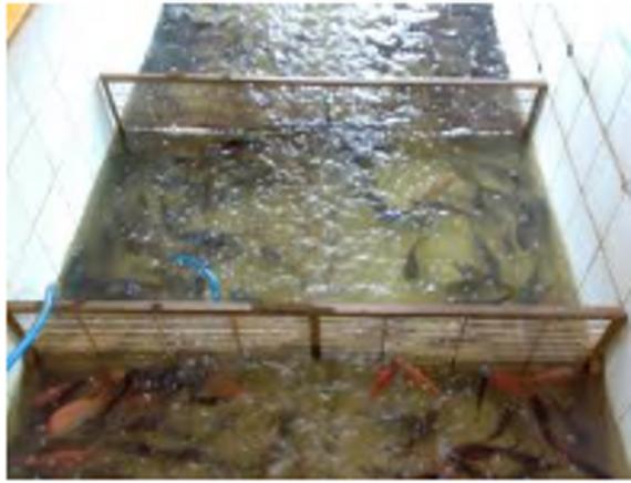 budidaya ikan-kolam