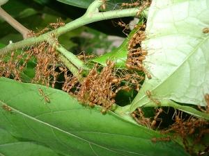 semut-rangrang-kroto-merah