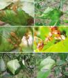 semut-rangrang-membangun-sarang-dengan-melipat-dan-merajut-daun-daun-menggunakan-benang-sutera-yang-dihasilkan-oleh-larvanya