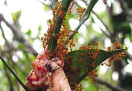 Semut-Rangrangcara-memberi-makan-semut-dengan-pemberian-usus-dan-daging-lainnya