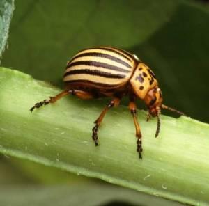 Potato_Beetle